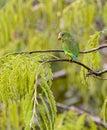 Cobalt-winged Parakeet Royalty Free Stock Photo