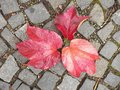 Cobblestone paving footpath with autumn dry colorful leaves granite cobbles Stock Photo