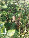 Cobweb and older cross spider in a with dewdrops on the side Stock Photos