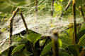 Cobweb on the plant in the morning Royalty Free Stock Image