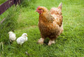 Cochin Chicken Hen Royalty Free Stock Photo