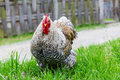 Cochin chicken Royalty Free Stock Photo