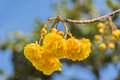Cochlospermum regime flower beautiful landscape on blue sky Royalty Free Stock Photos