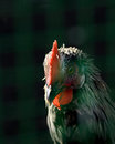 Cock head closeup on dark background with a red beard and comb Royalty Free Stock Photo