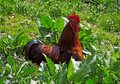 Cock in a kitchen garden Royalty Free Stock Photo