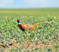 Cock pheasant in a field of spring greens Stock Photos