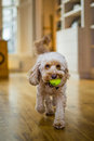Cockapoo bring ball back to owner colour Royalty Free Stock Photos