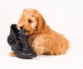 Cockapoo puppy with black shoe Royalty Free Stock Photo