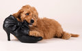 Cockapoo puppy with black shoe an eight weeks old is chewing on a its view says that it knows its forbidden the is a cross breed Royalty Free Stock Photos