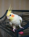 Cockatiel bird on a cage male with good eye contact with the camera Stock Images