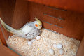 Cockatiel at nest box a bird incubating eggs Royalty Free Stock Image