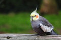 Cockatiel nymphicus hollandicus sitting on wooden handrail Royalty Free Stock Images