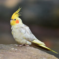 Cockatiel nymphicus hollandicus standing on a floor closeup Royalty Free Stock Photos
