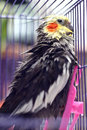 Cockatiel a after washing with wet feather Royalty Free Stock Photos