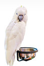 Cockatoo bird on the log on background white Royalty Free Stock Photos