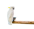 Cockatoo bird on the log on background white Stock Image