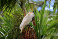 Cockatoo in a Palm Tree Royalty Free Stock Photo