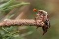 Cockchafer, May bug, doodlebug climbing Royalty Free Stock Photo