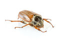 Cockchafer with reflection on white Stock Photo
