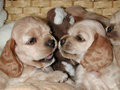 Cocker puppies interaction Royalty Free Stock Photo