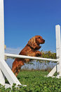Cocker spaniel in agility Royalty Free Stock Photography