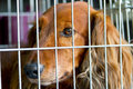 Cocker Spaniel in the cage Royalty Free Stock Photo