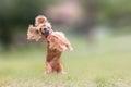 Cocker spaniel dog  jumping and blocking a ball. Royalty Free Stock Photo