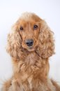 Cocker spaniel dog portrait Royalty Free Stock Photo