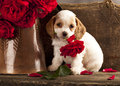 Cocker Spaniel puppy and flower rose Stock Images