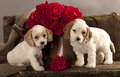 Cocker Spaniel puppy and flower rose Royalty Free Stock Images