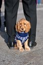 Cocker spaniel puppy sitted with sweater Royalty Free Stock Photo