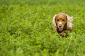 Cocker spaniel running to you in grass background green Stock Photos