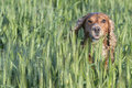 Cocker spaniel running to you in grass background from wheat and Stock Photos