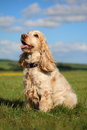 Cocker Spaniel sitting in a field Royalty Free Stock Photo