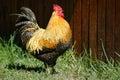Cockerel Royalty Free Stock Photo