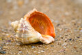 Cockle shell in sand on a beach Royalty Free Stock Photo