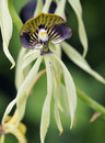Cockleshell orchid prosthechea cochleata from central america Stock Photo