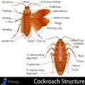Cockroach anatomy easy to edit vector illustration of Stock Images