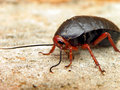 Cockroach a close up view of a with a damaged eye Stock Photo