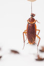 Cockroach hanging is dead shoot on white background Royalty Free Stock Photo