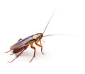 Cockroach isolated on white background Royalty Free Stock Photos