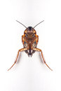Cockroach studio shot white isolate Royalty Free Stock Images