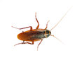Cockroach white background Stock Photography