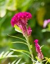 Cockscomb flower Royalty Free Stock Photo