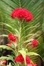 Cockscomb flower - Celosia in a tropical garden Royalty Free Stock Photo