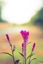 Cockscomb flower Violet color
