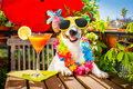 Cocktail drink dog summer holiday vacation on balcony Royalty Free Stock Photo