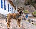 Cocky dog Royalty Free Stock Photo