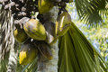 Coco de Mer, Mahe, Seychelles Royalty Free Stock Photo