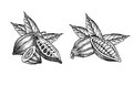 Cocoa beans engraved illustration of leaves and fruits of Royalty Free Stock Photos